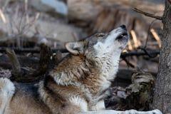 Huilende Europese wolf stock foto