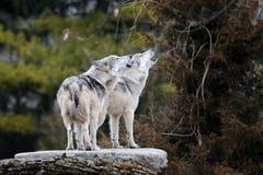 Huilende Mexicaanse grijze wolven Stock Fotografie
