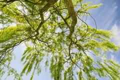 Huilende wilg & x28; Salix babylonica& x29; Royalty-vrije Stock Afbeelding