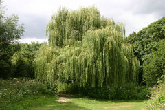 Huilende Willow Tree stock afbeelding