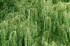Huilende Willow Tree royalty-vrije stock fotografie