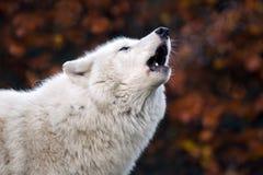 Huilende witte wolf Stock Afbeeldingen