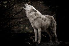 Huilende witte wolf in dark Royalty-vrije Stock Afbeeldingen