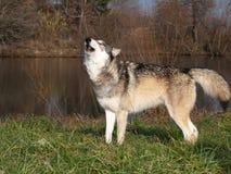 Huilende wolf royalty-vrije stock foto
