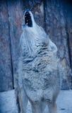 Huilende wolf Royalty-vrije Stock Fotografie
