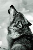 Huilende Wolf in sneeuw Stock Foto