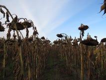 Huilende zonnebloemen Stock Afbeeldingen