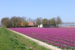 Huis en landbouwbedrijf tussen de tulpen in de polder, Flevoland, Nederland stock afbeelding