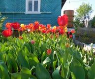 huis en tuin met rode tulpen Stock Fotografie
