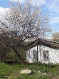 Huis en van de bloeiboom abrikoos Royalty-vrije Stock Foto's