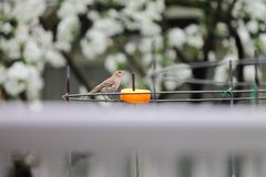 Huis Finch Eating Orange stock afbeeldingen