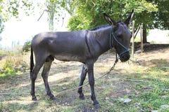 Huis grijze ezel op een leiband Stock Fotografie