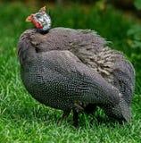 Huis Guinea kip- van de species van gevogelte Geboorteplaats van geacclimatiseerd gewoon kip-westelijk Guinea royalty-vrije stock afbeelding