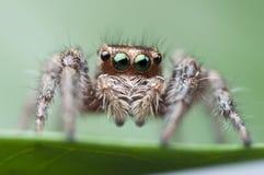 Huis het springen spin Royalty-vrije Stock Foto's
