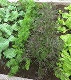 Huis het tuinieren sla en groenten Stock Afbeeldingen