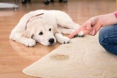 Huis opleiding van schuldig puppy stock afbeelding