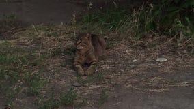 Huisdier op straat het rusten stock videobeelden