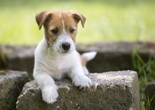 Huisdier opleidingsconcept - puppyhond die aan zijn eigenaar kijken stock fotografie