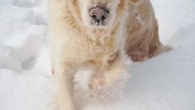 Huisdieren in aard - een mooi golden retriever die in een de winter snow-covered bos lopen stock footage