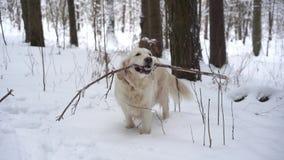 Huisdieren in aard - een mooi golden retriever knaagt aan op de stok in een de winter snow-covered bos stock video