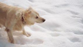 Huisdieren in aard - een mooi golden retriever zit in een de winter snow-covered bos, langzame geanimeerde video stock video