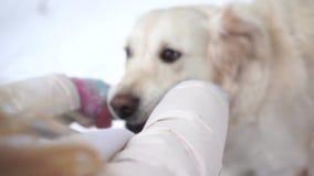 Huisdieren in aard - mooie golden retrieverspelen met de eigenaar met een stok in een de winter snow-covered bos stock video