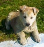 Huisdieren bastaard puppy Royalty-vrije Stock Afbeelding