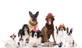 Huisdieren Carnaval Stock Afbeelding