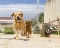 huisdieren, honden Stock Afbeelding