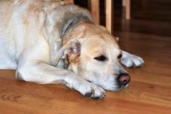 Huisdierenhond Royalty-vrije Stock Afbeelding