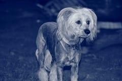 Huisdierenhond het Stellen in Tuin Royalty-vrije Stock Foto