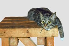 Huisdierenkat met reusachtige grote ogen die op de stoel liggen Stock Afbeelding