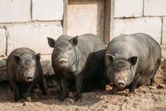 Huishouden Grote Zwarte Varkens in Landbouwbedrijf Het varken die heft en kweekt van Binnenlandse Varkens op bewerken Royalty-vrije Stock Afbeelding