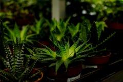 Huisinstallatie, Pot van cristata van Coryphantha elephantidens, succulente potteninstallatie voor decoratief binnenshuis, select Royalty-vrije Stock Foto's