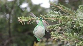 Huismus en blauwe mees op een vette bal in de winter Vogel het voeden stock footage