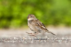 Huismus, House Sparrow, Passer domesticus royalty free stock photo