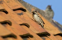 Huismus, House Sparrow, Passer Domesticus Stock Images
