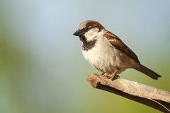 Huismus, House Sparrow, Passer domesticus indicus. Male House Sparrow (Passer domesticus indicus) perched in a palmtree in Ovira Park, Eilat, Israel stock photo
