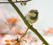 Huismus op het takje van een boom Royalty-vrije Stock Afbeeldingen