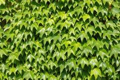 Huismuur met wilde druiven wordt gekronkeld die Stock Foto's