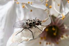 Huisvlieg in extreme dichte omhooggaande zitting op bloem Stock Fotografie