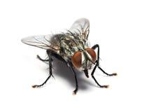 Huisvlieg op witte achtergrond wordt geïsoleerd die stock fotografie