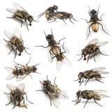 11 huisvliegen Royalty-vrije Stock Afbeelding