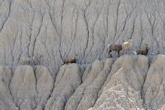 Huit chèvres de montagne se reposant sur le rebord Image stock
