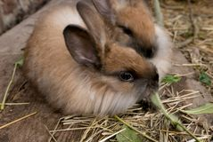 Huit kits angoras bruns de lapin de semaines Assez vieux être vendu photographie stock