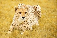 huka sig ned för cheetah Royaltyfri Bild
