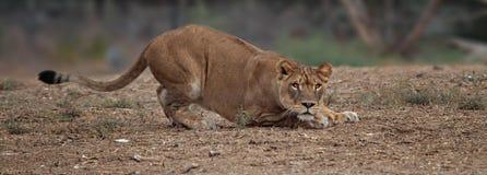 Huka sig ned lejoninnan royaltyfri fotografi