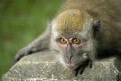 huka sig ned ner macaque royaltyfri bild
