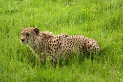 huka sig ned pounce för cheetah som är klar till Arkivfoton
