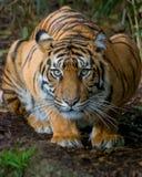 huka sig ned tiger arkivfoton